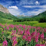 Gothic Fireweed